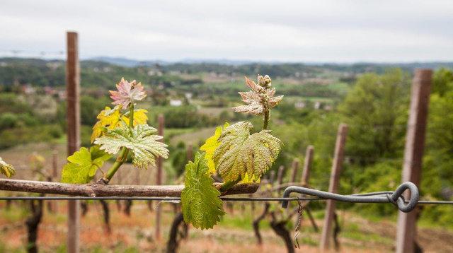 Vigneto Canavà vino Cortese dell